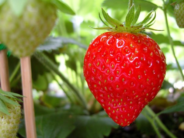 Strawberry Picking Automation and Battle for Middle-Earth Remake